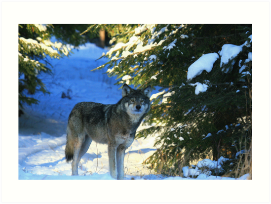 """  Timber Wolf in the Wild  "" by fortner"