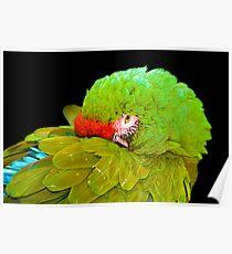 Military Macaw (Ara militaris) Poster