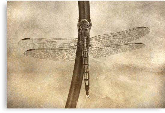 The Dragonfly by Trish Woodford