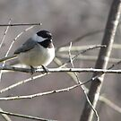 Black Capped Chickadee by Lolabud