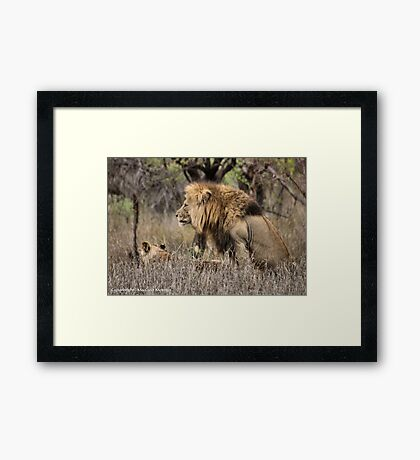 THE LION – 'KING OF THE JUNGLE'  Panthera leo Framed Print
