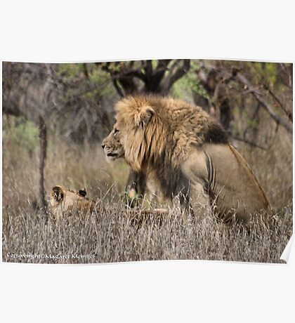 THE LION – 'KING OF THE JUNGLE'  Panthera leo Poster