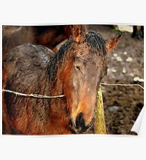 Wet Foal Poster