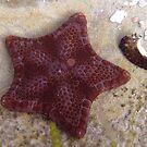 Tasmanian Starfish  by Debbie  Widmer