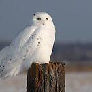 Snowy owl on a post by Jim Cumming