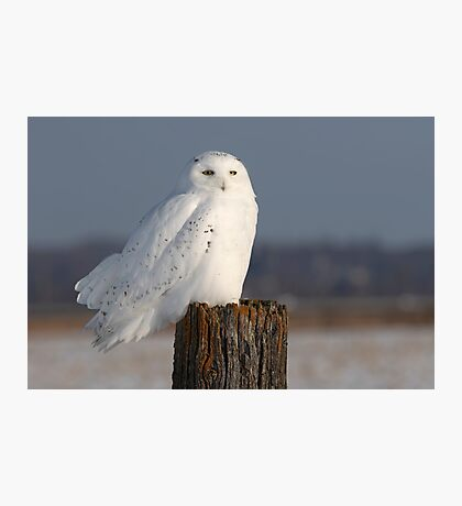 Snowy owl on a post Photographic Print