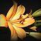 *Orange Asiatic Lily* Challenge
