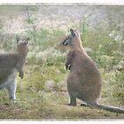 Wallabies in Tasmania by Clare Colins