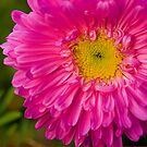 Bright Pink by Mukesh Srivastava