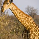 Giraffe, Kruger National Park, South Africa by Erik Schlogl