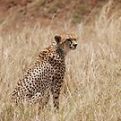 Cheetah by CriscoPhotos