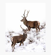 Scottish Red Deer Stags Photographic Print