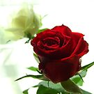 Croation Rose by mattslinn