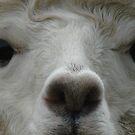 Alpaca Eyes by Marina Hurley