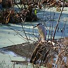Black Crowned Night Heron - Nycticorax nycticorax by rd Erickson