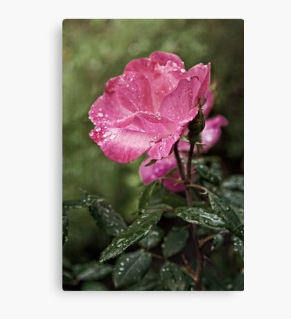 Raindrops on Roses... Canvas Print