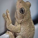 Perons Tree frog - Litoria Peroni by Robert Chester Lee