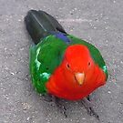 King Parrot, Walhalla, Victoria by BronReid