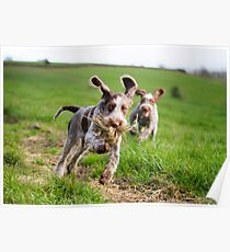 Italian Spinone Puppies Playing Chase Poster