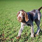 Italian Spinone Puppy Portrait by heidiannemorris