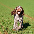 Brown Roan Italian Spinone Puppy Dog In Action by heidiannemorris