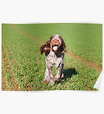 Brown Roan Italian Spinone Puppy Dog In Action Poster