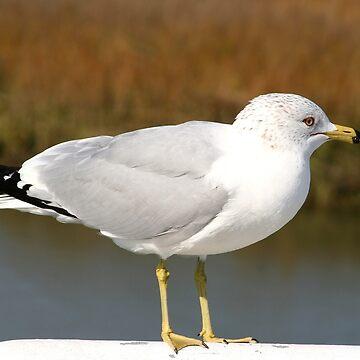 Ring-billed Gull by suddath