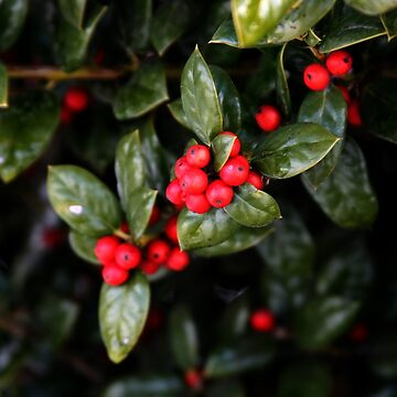 Holly Berries by suddath
