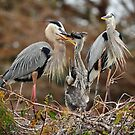 GBH family in the Everglades II by joemc