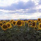 Yellow Beauties by Barb Miller