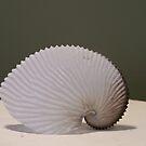 Paper Nautilus by DianaTaylor/ JacksonDunes