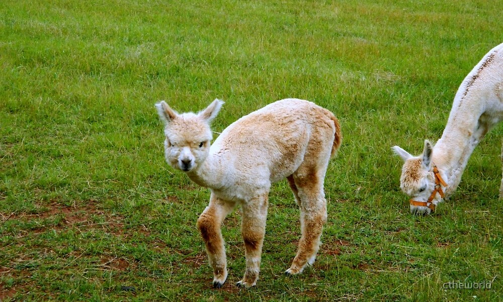 Baby Alpaca - Yoder's Farm  ^ by ctheworld