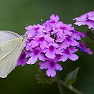 White Butterfly by Ray Clarke