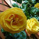 Goldene Rosen im Juni von BlueMoonRose