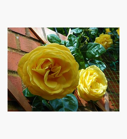 Golden Roses in June Photographic Print