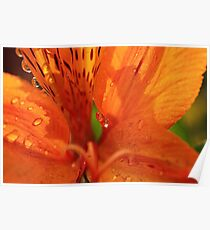 Inca lily with drops Poster