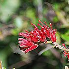 Georgious Grevillea by GriffMAD