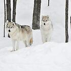 Wir lieben den Winter _ Arctic Wolves ... von Poete100