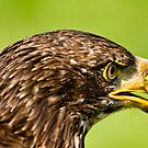 Juvenile Bald Eagle - Parc Omega, Montebello, PQ by Tracey  Dryka