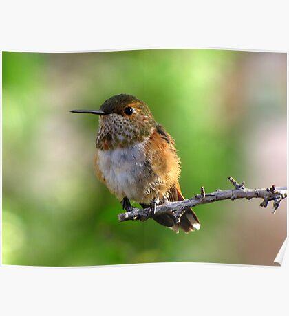 Rufous Hummingbird ~ Female Poster