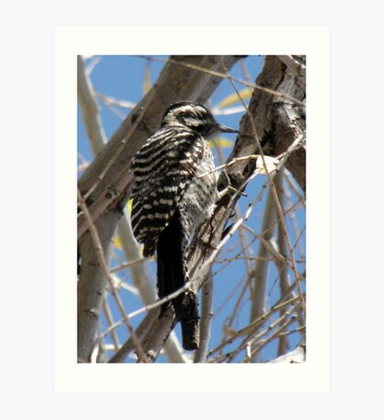 Ladder-backed Woodpecker ~ Female Art Print