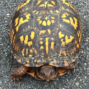 Eastern Box Turtle - Live If you like, purchase, try a cellphone cover thanks! by zwrr16