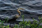 Great blue heron by LudaNayvelt