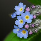Forget-me-not by Heather Thorsen