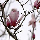 Magnolia by Kimberly Johnson