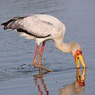 Yellow Billed Stork by Jo McGowan