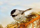 Chickadee on Fir by Elaine Manley