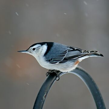 White- Breasted Nuthatch by DiamondWillow