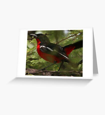 Crimson brested shrike (Laniarius atrococcineus) Greeting Card