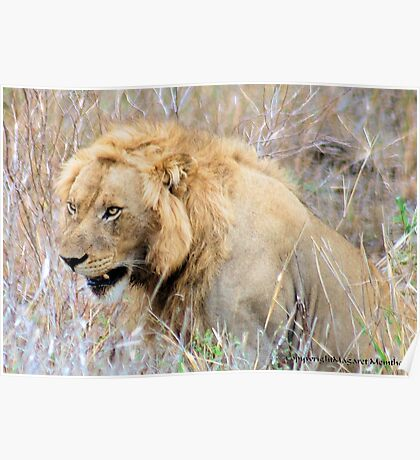 THE INCREDIBLE FORCE OF RESPECT - THE LION  - *Panthera leo* Poster